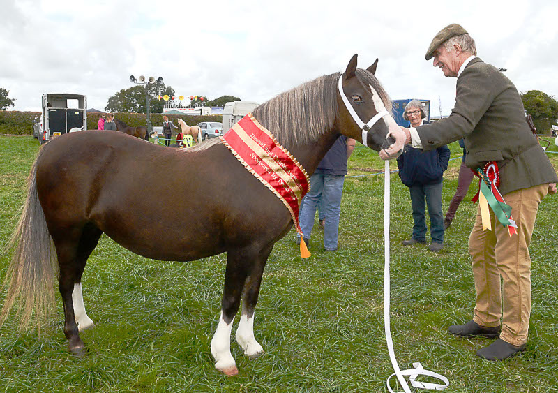 Welsh Breeds Champion was 'Rosemarche Holly Bough' a Section 'A' Champion from Rod Lewis, Llandysul Pic Tim Jones
