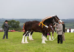 Horses being judged at Llandysul Agricultural Show