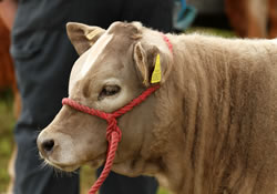 Cattle competition at Llandysul Agricultural Show