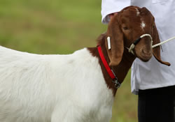 Picture of goat at Llandysul Agricultural Show