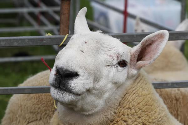 Sioe Llandysul 2017 - sheep