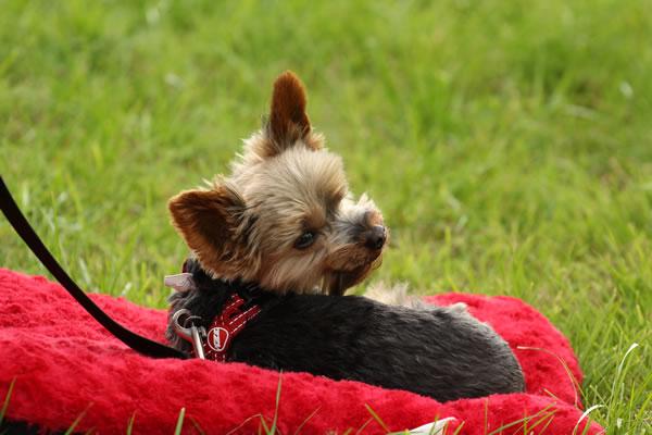Sioe Llandysul 2017 - little dog