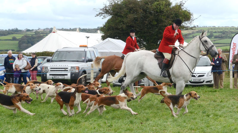 A Foxhound Display by Clettwr Hunt Pic Tim Jones
